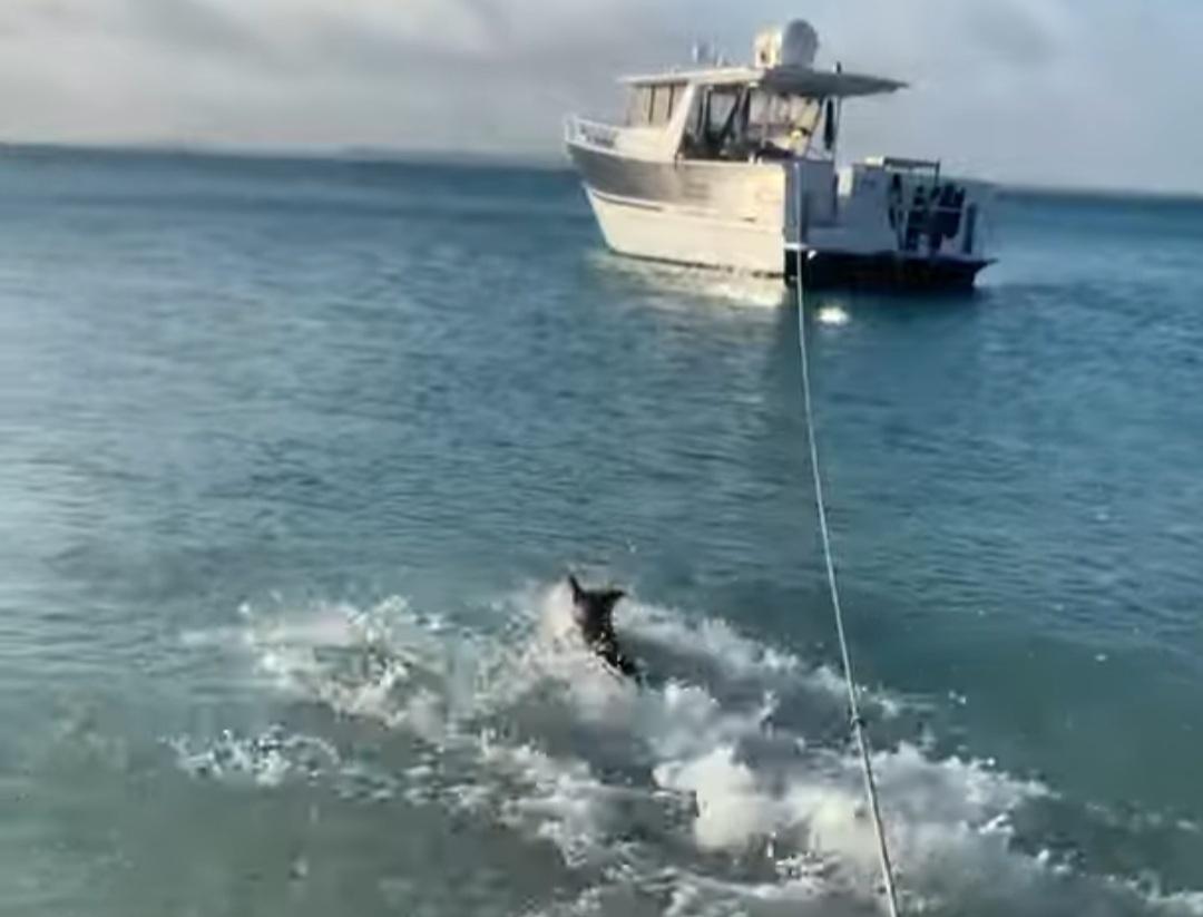 σκύλος κυνηγάει καρχαρία